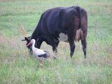 Krowa i bocian(IMG_3302.JPG)