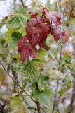 red leaves_500.jpg