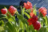 Tulip HDL1225.jpg