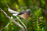 Fledgling Fantail