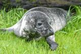 018  HARBOUR SEAL