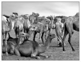 The Camel Market