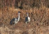 Sandhill Cranes mate for life and can live for over thirty years