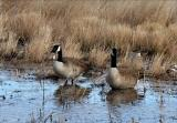 Canadian Geese are big birds!