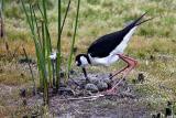 Black-necked Stilt tending eggs