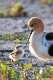 American Avocet with chick