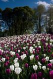 Hatanpää Mansion & Arboretum: Tulips