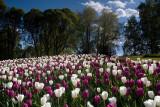Hataanpää Mansion & Arboretum: Tulips