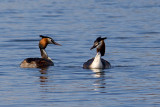 Great Crested Grebe Pair (Podiceps cristatus)