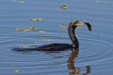 Cormorant with Fish (phalacrocorax brasilianus)