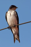 Gray-Breasted Martin (progne chalybea)
