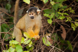 Black-Capped Yellow Squirrel Monkey (saimiri boliviensis)