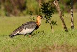 Buff-Necked Ibis (theristicus caudatus)