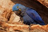 Hyacinth Macaw in Nest (anodorhynchus hyacinthinus)