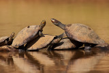 Yellow-Spotted Amazon River Turtles (podocnemis unifilis)