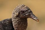 Black Vulture Portrait (coragyps atratus)