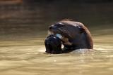 Giant Otter Eating Fish (pteronura brasiliensis)