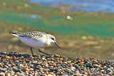 Sandpiper Juvenile Whitefish Point Lake Superior