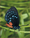Coontie Hairstreak and Insect Gallery