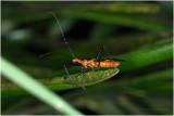 Milkweed Assassin Bug-Key Largo Florida