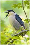 Black Crown Night Heron-Corkscrew Sanctuary