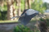 GBH-Great Blue Heron BIF Bird in Flight