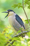 Black Crowned Night Heron-Corkscrew