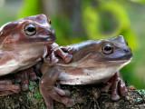 Dos Amigos Frogs
