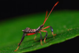 Assassian Bug