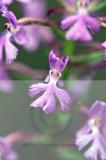 plantanthera nct  27200.jpg