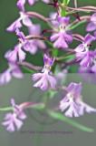 plantanthera nct  27201.jpg