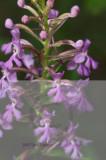 plantanthera nct  27203.jpg