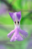 plantanthera nct  27206.jpg