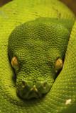 Green Tree Python Portrait 105mm VR Nikkor Macro Lens