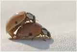 en flagrante delicto  Lady Bugs