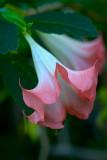 Trumpet Flower 2