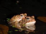 Toads in Love, In the Photographers backyard!