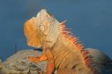 Iguana Headbobbing