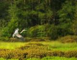 Blue Heron Landing in Bog
