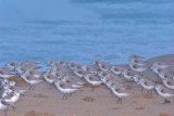 Sanderlings on Delray Beach