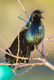 Boat Tailed Grackle Sings