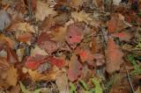 c oak Middlebury 10-29-07 0086.jpg