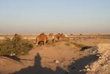 CAMELS AT AL SAMHA