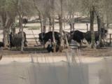 OSTRICH AT A FARM IN RAS AL KHAIMAH