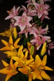 PINK & YELLOW LILY AT HOME IN AL SAMHA EAST