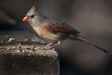 Red Bird (2)