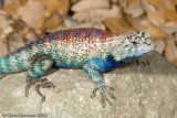 Spiny Lizards and Relatives
