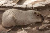 CapybaraHydrochoerus hydrochaerisSan Antonio Zoo