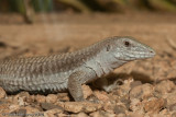 Whiptails and Relatives