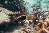 Bicolor GoatfishParupeneus barberinoides
